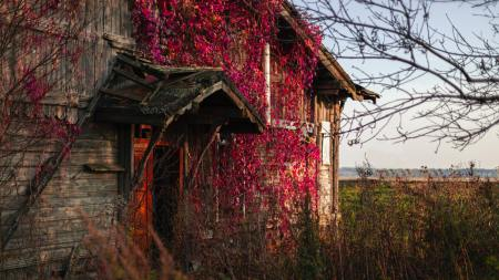 Old farm house covered in vines.